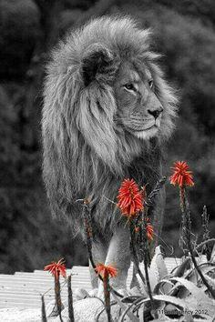 Leo the Lion ~ What a beautiful creature Beautiful Cats, Animals Beautiful, Simply Beautiful, Chat Lion, Animals And Pets, Cute Animals, Wild Animals, Baby Animals, Gato Grande