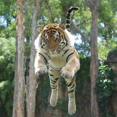 The link doesn't work, but this is an awesome shot of a tiger in flight. Big Cats, Cool Cats, Beautiful Cats, Animals Beautiful, Animals And Pets, Cute Animals, Tiger Love, Cat Species, Matou
