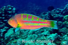 Christmas Wrasse in Hawaii, one of my favorite fish I've seen while snorkeling