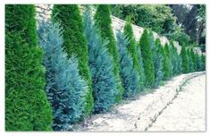 Tips, tactics, together with manual with respect to getting the ideal end result and coming up with the maximum utilization of Diy Outdoor Landscaping Privacy Fence Landscaping, Privacy Trees, Privacy Plants, Landscaping Trees, Backyard Privacy, Arborvitae Landscaping, Outdoor Landscaping, Evergreen Landscape, Evergreen Garden