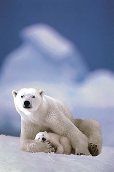 (E13) Polar Bear and Baby Poster