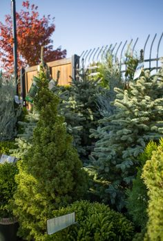 Live Christmas Trees, Fall Planting, Public Display, Seasons, Holiday, Plants, Inspiration, Decor, Biblical Inspiration