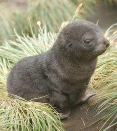 Fur Seal | Fur Seal Pup | Cutest Paw