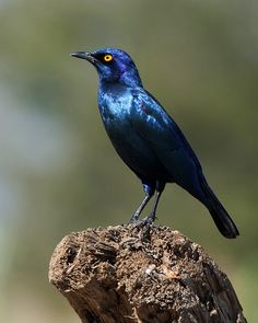 The shiny blue starlings – an identification guide. South African Birds, Kruger National Park, Starling, African Animals, Bird Watching, Love Flowers, Pet Birds, Garden Birds, Blue