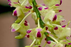 Orchid: Aerides quinquevulnera