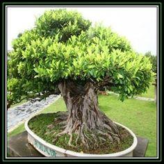 Weeping Fig, Benjamin's Fig (Ficus Benjamina) - Google Search