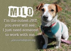 Today's featured Jack Russell rescue for adoption, foster or sponsorship - Milo!