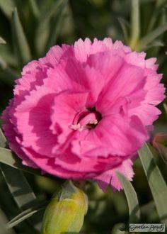 Dianthus Tickled Pink Source by freajah Dianthus Flowers, Plants For Sale Online, Herbaceous Perennials, Pink Orchids, Plant Sale, All Flowers, Carnations, Nursery, Flowers