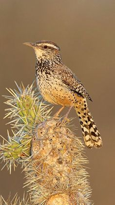 Cactus Wren (Campylorhynchus brunneicapillus). Native to the US southwest and Mexico. photo: Daniel Behm.