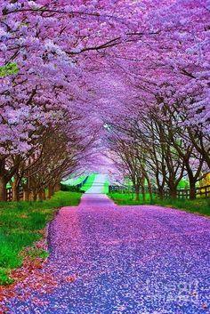 un camino color lavanda..