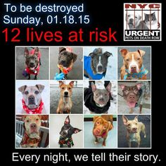TO BE DESTROYED: 12 beautiful dogs to be euthanized by NYC ACC- SUN.. 01/18/15. This is a VERY HIGH KILL shelter group. YOU may be the only hope for these pups! ****PLEASE SHARE EVERYWHERE!!To rescue a Death Row Dog, Please read this: http://urgentpetsondeathrow.org/must-read/ To view the full album, please click here: https://www.facebook.com/media/set/?set=a.611290788883804.1073741851.152876678058553&type=3