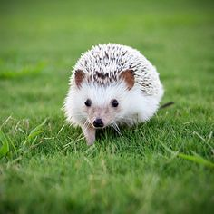 Kinda want a pet hedgehog...just sayin'