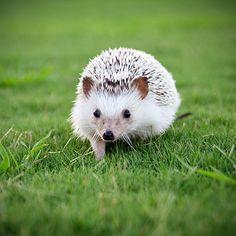 Kinda want a pet hedgehog...just sayin'