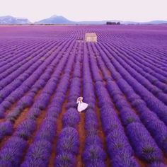 From mid june to mid july, the lavender fields of Provence are in full bloom! Tag a friend you would visit these fields with💜👇 ( 📽 - ) ( 📍 valensole, Provence, France ) . Best Resorts, Best Vacations, Wild Bees, Unique Hotels, Destination Voyage, Beautiful Sites, Lavender Fields, Journey, South Of France