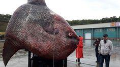 (adsbygoogle = window.adsbygoogle || []).push();   Unos pescadores de las islas Kuriles, en el Pacífico ruso, capturaron el pasado 9 de septiembre un descomunalpez luna de1.100 kilos,informaSakhalin.Info. Sin embargo, el animal empezó a descomponerse en el barco yfue arrojado...