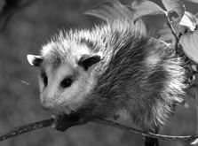 love opossums..