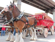 Photos: Clydesdales at Cards' Home Opener