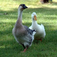 Carrie the Goose and Donald the Duck.
