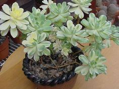 Aeonium castello-paivae 'Variegata' is one of the most delightful evergreen, variegated cultivars with succulent rosettes, forming compact...