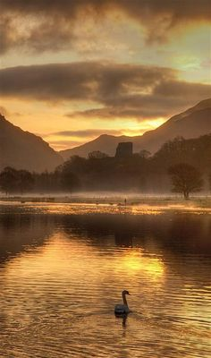 Swans on Llyn Padarn, Llanberis, Wales, UK