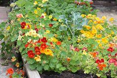 companion planting - broccoli and nasturtiums