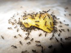 Homemade Ant Killer Recipes & 13 Ant Bite Remedies Ants attracted to discarded fruit - avoid attracting ants before resorting to an ant killer Diy Pest Control, Termite Control, Bug Control, Ant Killer Recipe, Homemade Ant Killer, Ant Bites, Orlando, Get Rid Of Ants, Household Pests