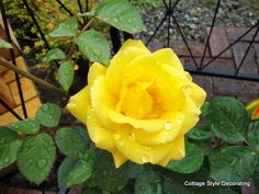The yellow rose of Texas. Texas Flags, Texas Pride, Yellow Roses, Gardens, Patio, Flowers, Plants, Style, Yard
