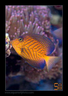 The moorish idol zanclus cornutus is a small marine fish for Freshwater fish representative species