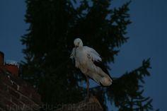 Petite pause de cigognes sur les toits et poteaux électrique de notre village dans l'Oise