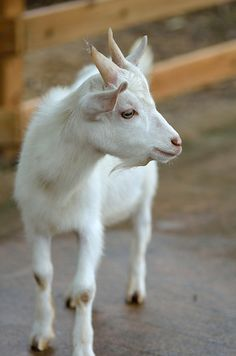 Here's To The Amazing Animals Who Give Us Yarn - Cashmere Goat