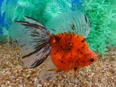 Comet Goldfish, Pet Fish, Freshwater Fish, Aquariums, Carp, Tropical Fish, Aquarium Fish, Fresh Water, Cute Animals