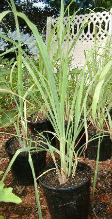 Lemongrass Rootstalk (Cymbopogon Citratus) Bareroot Plant : Lemon Grass Plants