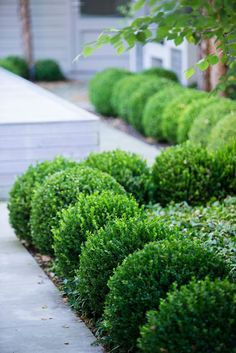 A repeat pattern of spherical shrubs like a walkway More