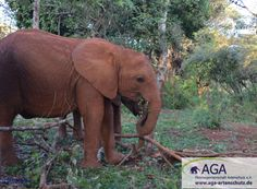 Zusammen mit ihren Artgenossen erkunden die Elefantenwaisen ihre Umgebung, fressen Blätter und Zweige und verbringen viel Zeit mit den anderen Elefanten ihrer kleinen Herde. Aga, Elephant, Animals, Kenya, Branches, January, Elephants, Explore, Environment