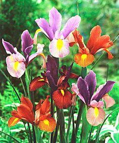 Mixed Dutch Iris  'Tiger' product photo