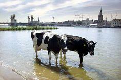 Koeien in de IJssel @Kampen
