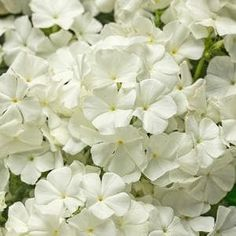"Invite butterflies and hummingbirds to your gardens, decks and porches when you plant Intensia® White Phlox. Whether you enjoy the show of all white or like to pair it with color, Intensia® White Phlox will fit in wherever it is planted. This 10-11 zone hardy annual is 12-16"" tall with a 10-12"" spread, drought tolerant and low maintenance. Fill your seasons with the crisp, clean color of white with this full sun to part shade annual. NEW for 2017!"