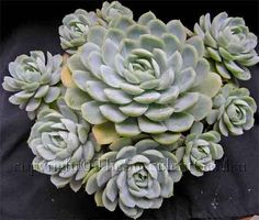 Echeveria elegans    An elegant rosette-forming species with pale silver-green leaves. Offsets freely to form a dense mound. Coral pink flowers with yellow tips in spring. (Mexico). Sun/part sun.