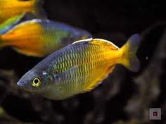 Boesemani Rainbow Fish.  These are the next fish I'm getting once I make more room in my tank.