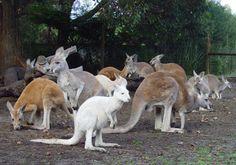 Tons of Kangaroos in Caversham Wildlife Park in Perth Australia