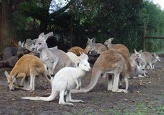 Tons of Kangaroos in Caversham Wildlife Park in Perth Australia