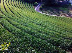 Levels. ( #teagarden / #teaplantation / #teatree / #shiding / #newtaipei / #taiwan / #thousandsislandslake / #2015 / #田園 / #茶園 / #茶樹 / #石碇 / #新北市 / #臺灣 / #台灣 / #台湾 )