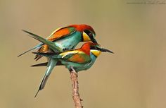 Mating Bee-Eaters by Csaba Lóki on 500px