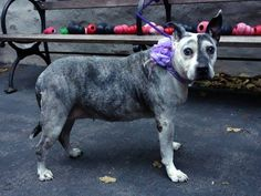 TO BE DESTROYED 11/13/13 Manhattan Center -P LUCKY  #A0873558 SPAYED FEMALE BRINDLE GRAY & WHITE PIT BULL MIX  OWNER SUR  11/09/13 SENIOR ALERT ! 14 YRS *** She is house trained, plays w/ other dogs & cats, and friendly w/ strangers/children. A bit plump, has a few calluses & a little growth on her back. Has had a litter or two. Lucky is a good walker. Can sit & stay on command.Good ball player. Lucky has several good yrs still left in her. She would like to spend them w/ you!