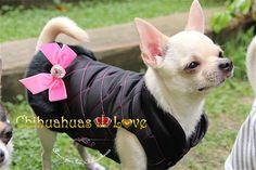 abrigar perros chihuahua