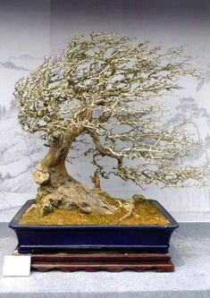Bonsai - looks as though it's lived in our garden! #bonsaitrees