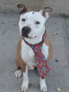PETEY - A1032071 - - Brooklyn  *** TO BE DESTROYED – 04/20/15 *** Its not clear how young Petey ended up in a cage at Brooklyn ACC. But it is clear that this young, healthy boy is wondering where his world went. Its also clear that no one has come to get Petey and ACC now proposes to end his stay with them by putting Petey on tomorrow's euthanasia list. Tonight, Petey is hoping against hope that somebody sees him among the sea of dogs around him and that someone jus