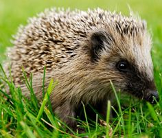 Hedgehog © Gustav Bergman/istockphoto.com