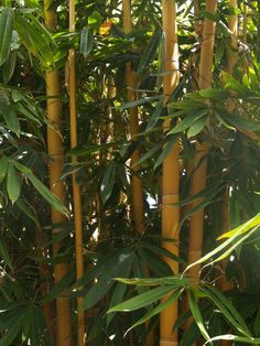 Beautiful sacred Bali bamboo is a non invasive clumping variety - Schizostachyum brachycladum