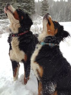 Bernese Montain Dog ❤️